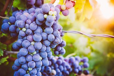 有蔓植物,红葡萄,自然,葡萄酒,水平画幅,水果,无人,葡萄,农业,图像