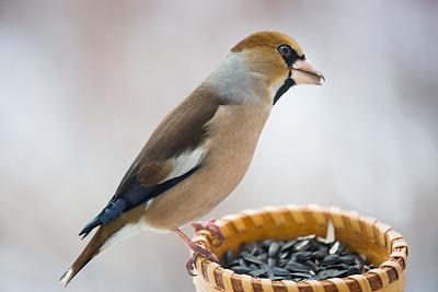 山楂,雀科,蜡嘴鸟,喂鸟器,自然,图像聚焦技术,选择对焦,野生动物,水平画幅,无人