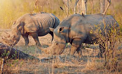 犀牛,平衡,一对,后备运动员,博茨瓦纳,留白,野外动物,夏天,自由,哺乳纲
