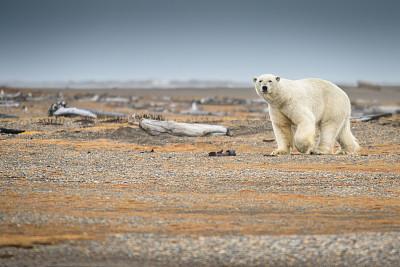 北极熊,阿拉斯加,陆地,全球变暖,北极,天空,水平画幅,雪,无人,符号