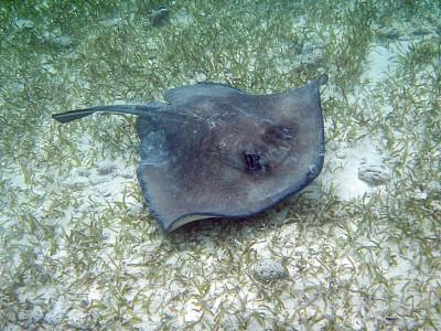 南部魟鱼,ambergris caye,伯利兹,野生动物保护区,禅宗,霍尔海洋保护区,魟鱼,留白,水平画幅,无人