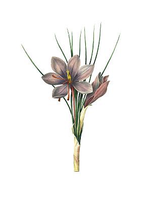 番红花,绘画插图,仅一朵花,藏红花,植物学,植物学家,垂直画幅,正面视角,美,留白