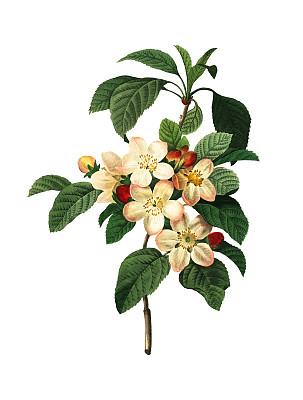 植物学,绘画插图,苹果花,苹果,古典式,复古风格,垂直画幅,正面视角,美,留白
