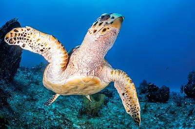 綠蠵龜,硬珊瑚,水,水平畫幅,無人,巨大的,水下,動物習性,野外動物,異國情調