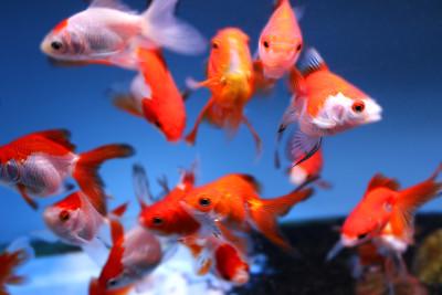 鱼群,水族馆,鱼类,金鱼,淡水鱼,图像,华丽的,鲤形目,pectoral fin,人工繁殖