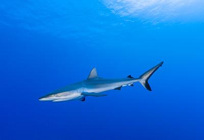 礁鲨,塔西提岛,法国海外领土,自然,野生动物,水平画幅,蓝色,鲨鱼,海洋,法属玻利尼西亚