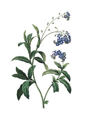 勿忘我,绘画插图,仅一朵花,植物学,垂直画幅,正面视角,留白,古董,无人