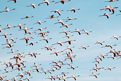 火烈鸟,粉色,泡碱湖,天空,水平画幅,鸟类,非洲,坦桑尼亚,户外,动物