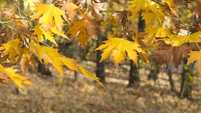 枝,秋天,悬铃树,小无花果树,气氛,复叶,选择对焦,美,褐色,水平画幅