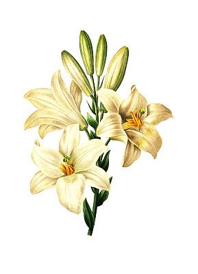 复活节百合,绘画插图,仅一朵花,睡莲,植物学,植物学家,垂直画幅,正面视角,美,留白