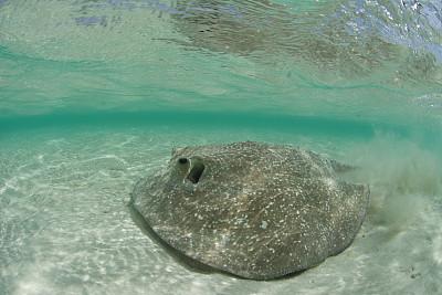 魟鱼,豪猪,porcupine ray,水,水平画幅,沙子,水下,野外动物,海洋生命,特写