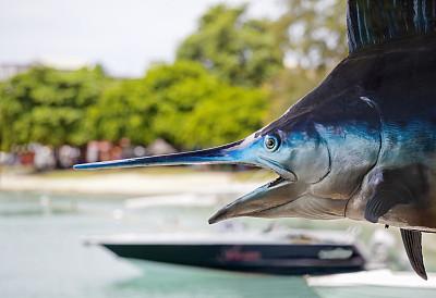 马林鱼,毛里求斯,动物标本,旗鱼,渔船,停泊的,动物嘴,水平画幅,无人