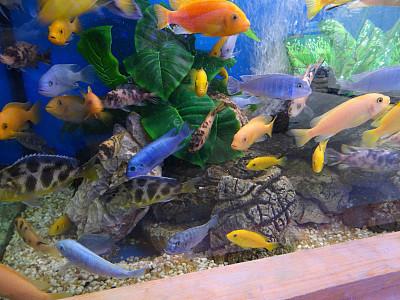 丽体鱼,马拉维,鱼缸,水族馆,图像,群,鸡尾酒,非洲慈鲷,马拉维湖,坦噶尼喀湖