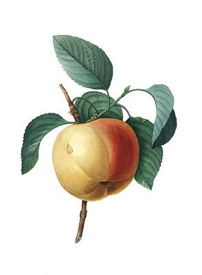 植物学,苹果,绘画插图,选择对焦,植物学家,古典式,垂直画幅,正面视角,美,留白