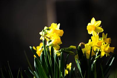 水仙花,樱草花,自然,水平画幅,无人,户外,红色,春天,容器,黄色