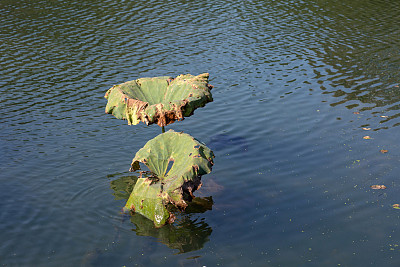 枯萎的,荷花,池塘,死亡的植物,自然,水平画幅,绿色,秋天,无人,夏天