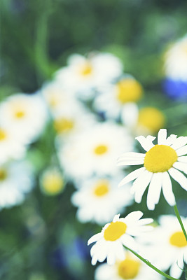 甘菊,草地,植物群,垂直画幅,无人,甘菊花,夏天,组物体,户外,特写