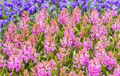紫罗兰,仅一朵花,粉色,库肯霍夫花园,阿姆斯特丹,自然,图像聚焦技术,选择对焦,芳香的,水平画幅