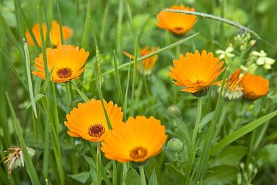 非洲雏菊,水平画幅,无人,户外,花束,彩色图片,园艺,花头,自然
