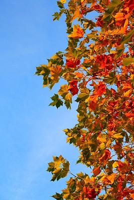 悬铃树,秋天,自然,垂直画幅,彩色图片,无人,叶子,摄影,树