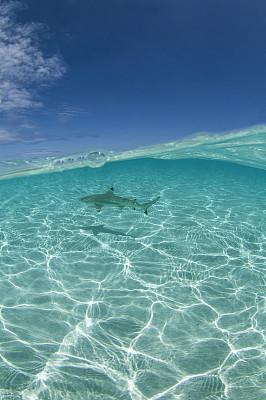 鲨鱼,海洋白尖鲨,鱼胸鳍,背鳍,在底端,尾鳍,垂直画幅,在下面,水,沙子