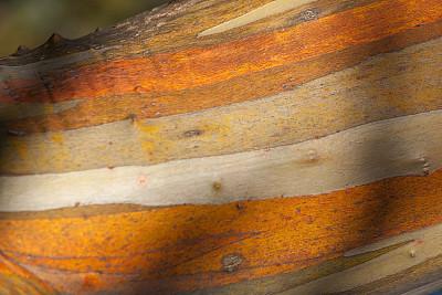 尤加利桉树,澳大利亚,桉树,水平画幅,雪,无人,户外,树林,冬天,山