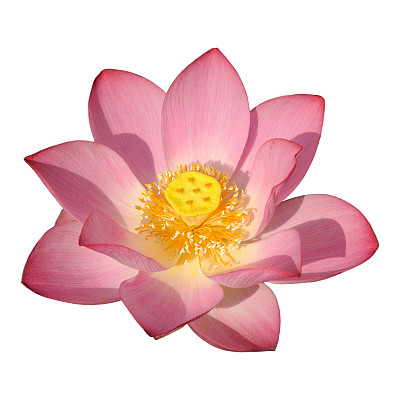 荷花,动物头,选择对焦,美,芳香的,无人,夏天,仅一朵花,活力,植物