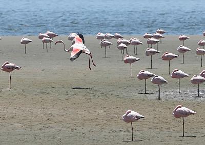 小火烈鸟,火烈鸟,野生动物,水平画幅,无人,鸟类,观鸟,野外动物,户外,海洋