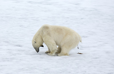 北极熊,冰,斯瓦尔巴特群岛和扬马延岛,斯瓦尔巴德群岛,留白,水平画幅,无人,野外动物,熊,幽默