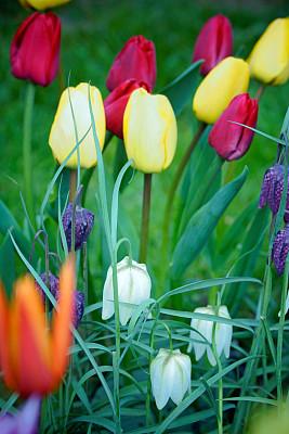 郁金香,王冠,王冠百合,高对比度,垂直画幅,温带的花,无人,特写,开花时间间隔,白色