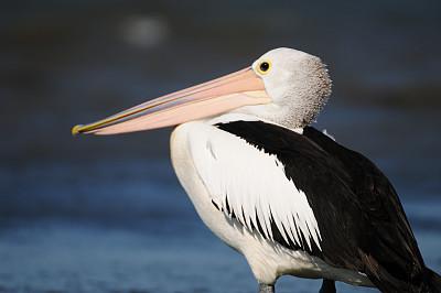 鹈鹕,水,度假胜地,水平画幅,沙子,鸟类,湿,户外,水禽,白色