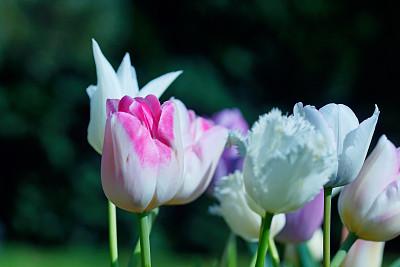 郁金香,春天,高对比度,自然,温带的花,水平画幅,无人,柔和色,特写,白色