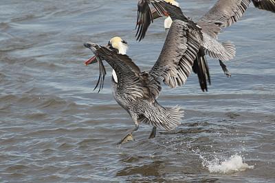 鹈鹕,两只动物,自然,水,留白,水平画幅,鸟类,动物身体部位,野外动物,海洋生命