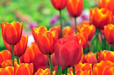 自然美,选择对焦,水平画幅,枝繁叶茂,郁金香,无人,组物体,户外,乡村风格,开花时间间隔