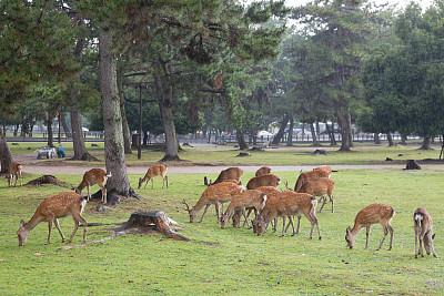 奈良县,日本,梅花鹿,奈良市,公园,野生动物,水平画幅,动物身体部位,户外,特写