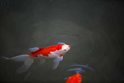 鲤鱼,嬉戏的,尾鳍,自然,水,美,禅宗,水平画幅,快乐,户外