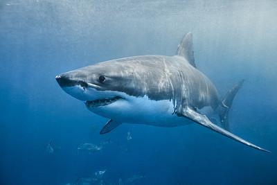 大白鲨,鲨鱼,自然,水,水平画幅,蓝色,野外动物,海洋生命,深的,饥饿的