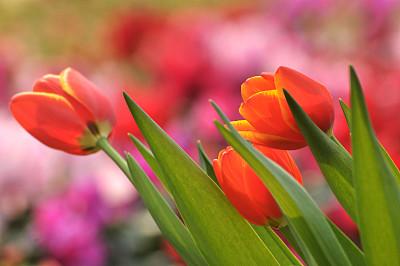 郁金香,春天,选择对焦,水平画幅,枝繁叶茂,无人,组物体,户外,乡村风格,开花时间间隔