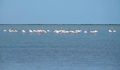 火烈鸟,粉色,罗讷河,卡马尔格,三角洲,自然,水平画幅,地形,鸟类,野外动物
