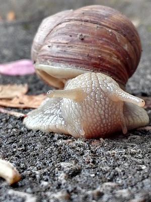 蜗牛,菜园蜗牛,鲍鱼,海螺,在移动设备上拍摄,垂直画幅,软体动物,缓慢的,动物身体部位,户外