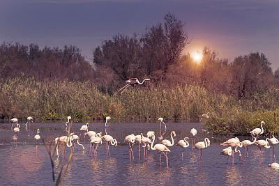 卡马尔格,火烈鸟,粉色,小火烈鸟,罗讷河,罗讷省,动物腿,水,颈,优美