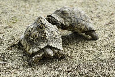 海龜,性和生殖,兩只動物,褐色,水平畫幅,沙子,無人,緩慢的,動物習性,戶外