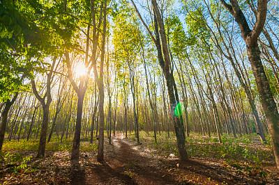种植园,橡胶树,闪亮的,阳光光束,树液,轻打,乳胶,普吉岛,水平画幅,枝繁叶茂