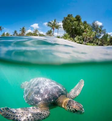 绿蠵龟,荒岛,海龟,垂直画幅,水,留白,无人,平视角,水下,动物身体部位