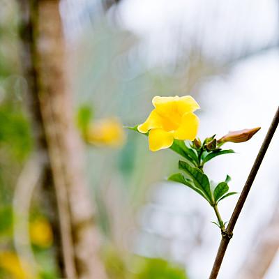 自然美,黄色,软枝黄蝉,毛莨科,选择对焦,美,留白,芳香的,无人,纯净