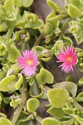 冰草,水晶兰,露水花,马德拉,垂直画幅,选择对焦,公园,无人,大西洋群岛,夏天