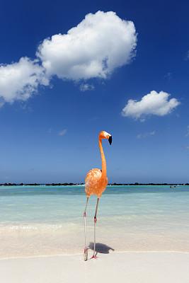 火烈鸟,海洋,青绿色,阿鲁巴,加勒比海,垂直画幅,水,旅游目的地,鸟类,户外