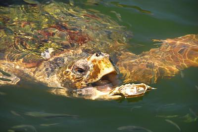 鐵球棒龜,愛琴海,海龜,水,水平畫幅,張著嘴,動物習性,動物身體部位,特寫,一只動物