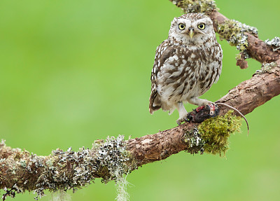 小猫头鹰,野生动物,食肉鸟,水平画幅,无人,猫头鹰,鸟类,观鸟,自然美,摄影