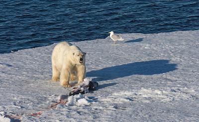 北极熊,冰川,死亡的动物,海豹,浮冰,斯匹兹卑尔根,斯瓦尔巴德群岛,水,留白,水平画幅